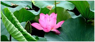http://winvivo.com/files/botanicals/buddha%20fruit%20-%20momordica%20grosvenori%20-%20image.png